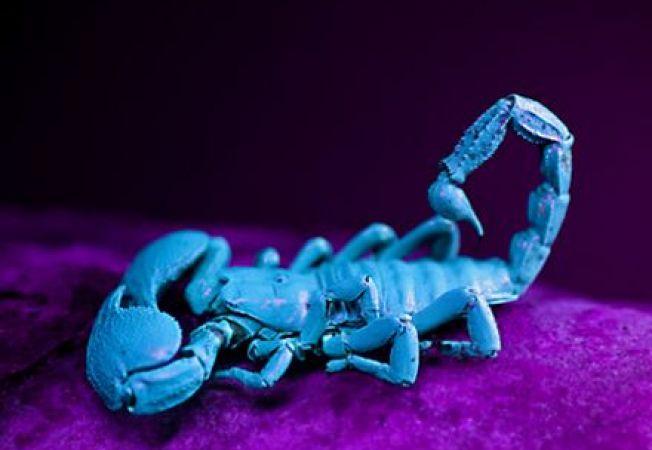 Scorpionul Pandinus Imperator, posibil tratament pentru aritmie si cataracta