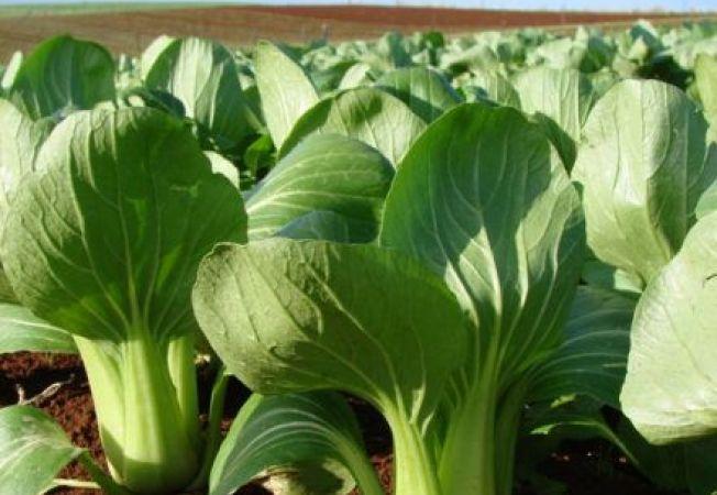 Varza chinezeasca, o leguma noua pentru gradina ta
