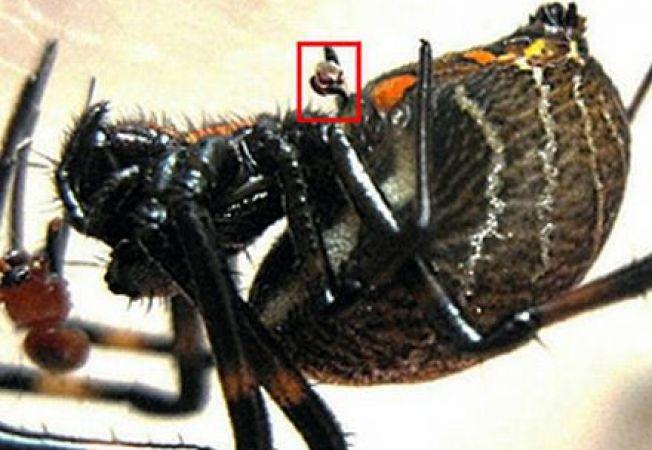 Studiu: Paianjenii masculi se autocastreaza pentru a-si apara femelele