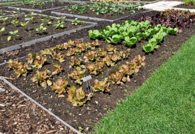 Cultura succesiva: cum sa obtii mai multe recolte intr-un an