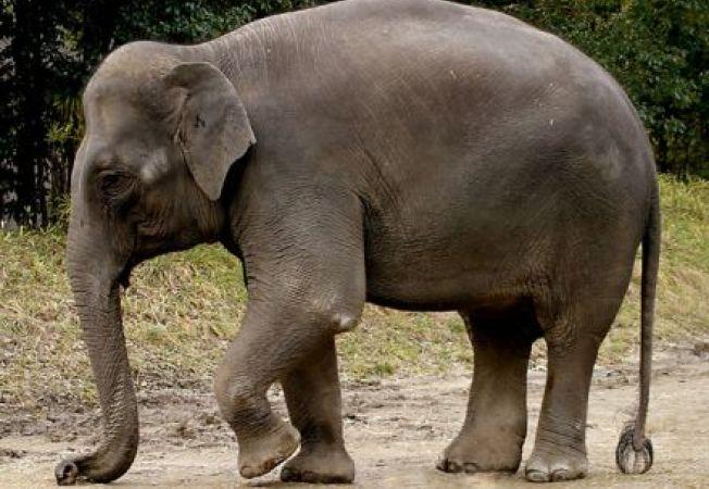 Elefantul C'sar este primul animal din lume care va purta lentile de contact