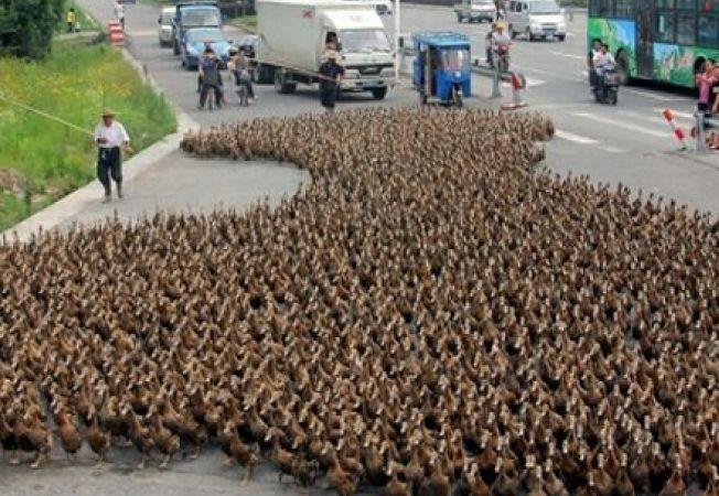 Un chinez a scos la plimbare peste 5000 de rate si a blocat traficul din oras