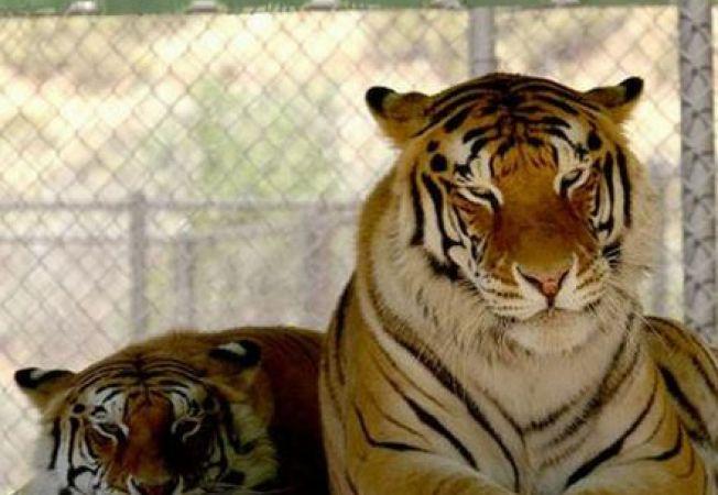 A murit Thriller, tigrul lui Michael Jackson