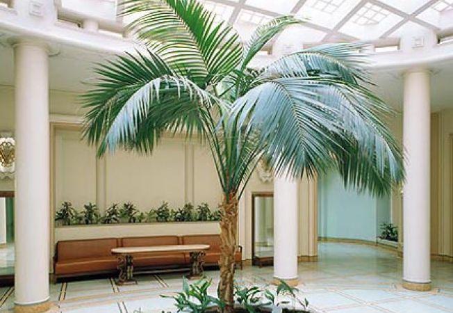 Cum sa ingrijesti palmierul Kentia