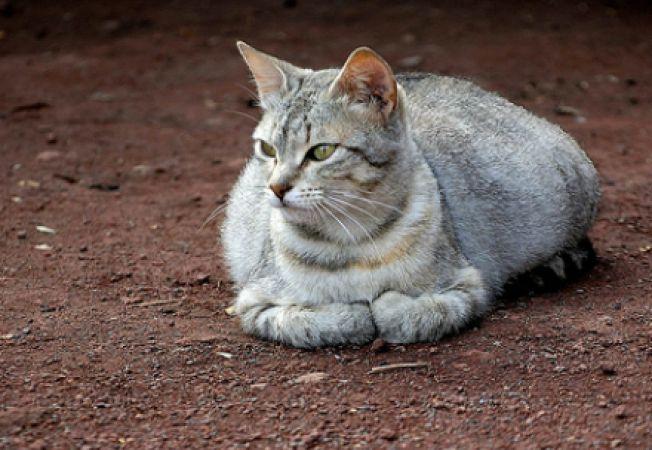 Alimentatia pisicii in timpul gestatiei