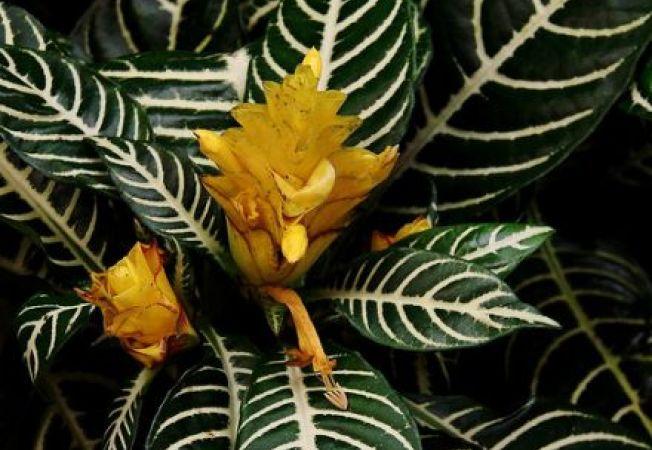 Aphelandra squarrosa, planta zebra
