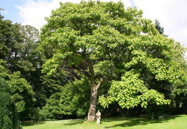 Copaci umbrosi care cresc repede