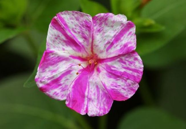 Plante care infloresc dupa-amiaza in gradina de vara