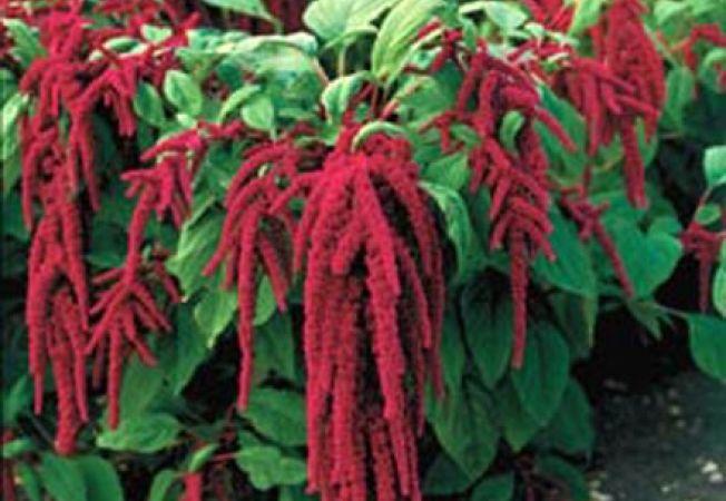 Amaranthus, o floare decorativa pentru gradina ta de vara