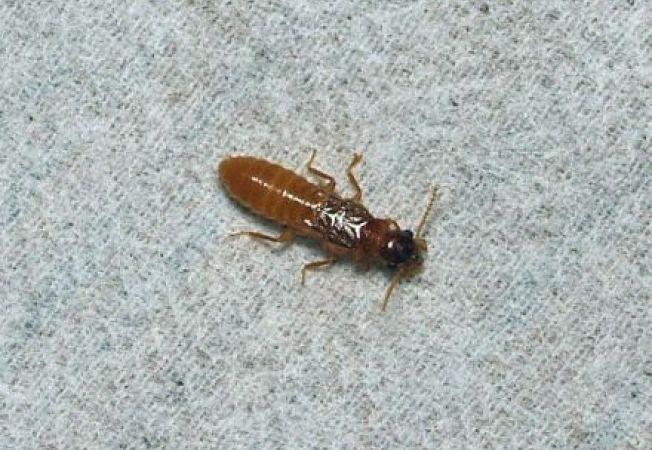 Cum sa iti protejezi casa de termite