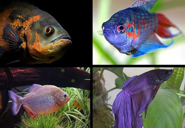 Pesti care ar trebui sa stea singuri in acvariu