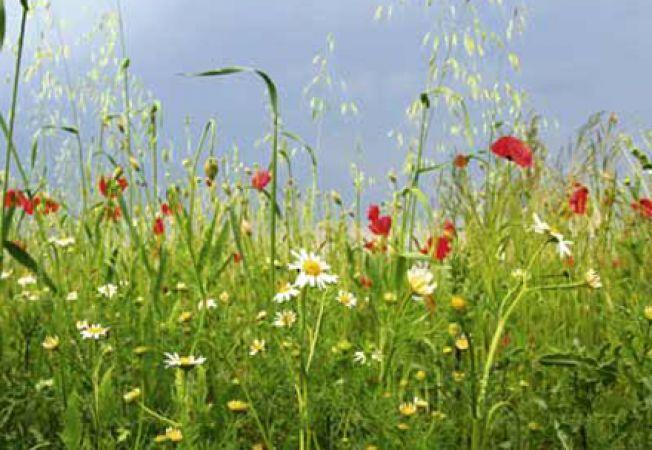 Ponturi pentru gradina de flori salbatice