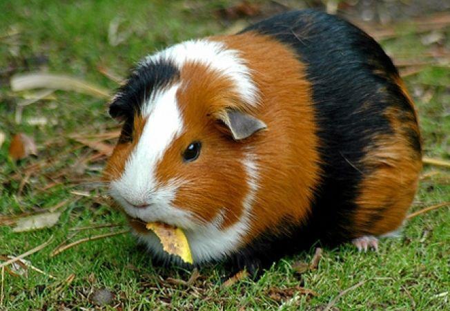 Semne de obezitate la porcusorul de guineea