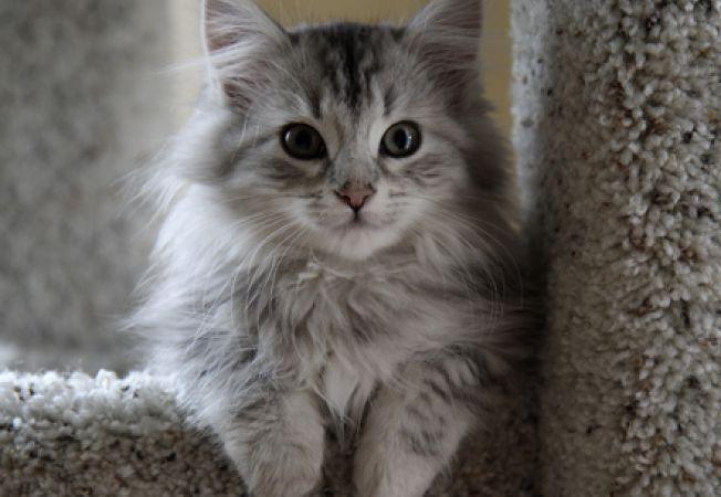 Rase de pisici pentru persoanele alergice