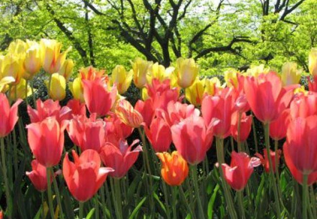 Planteaza bulbi toamna, ca sa ai flori frumoase primavara
