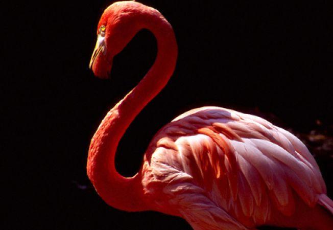Cantecele lui Barry White afecteaza pozitiv ritualul de imperechere al pasarilor flamingo roz