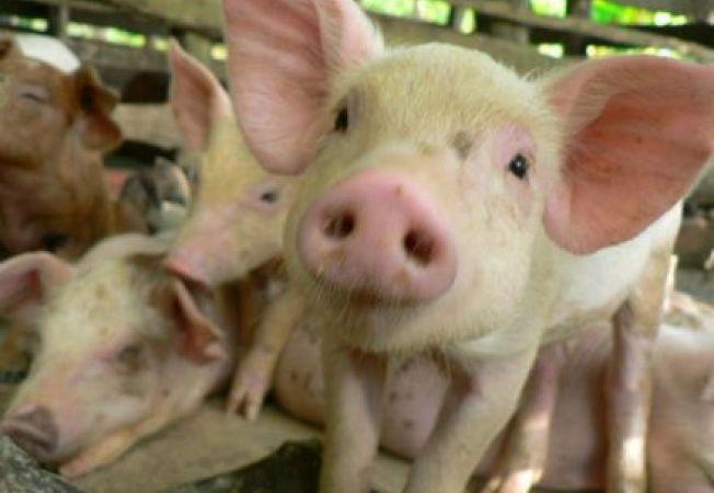 Un britanic face inchisoare pentru ca a batut niste porci