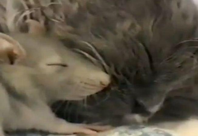 Uimitor! O pisica este prietena la catarama cu un... soarece