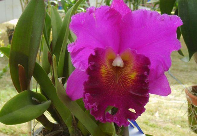 Cum cresti orhideea Cattleya