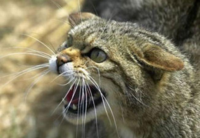 Pisicile sunt vinovate pentru declinul faunei din SUA