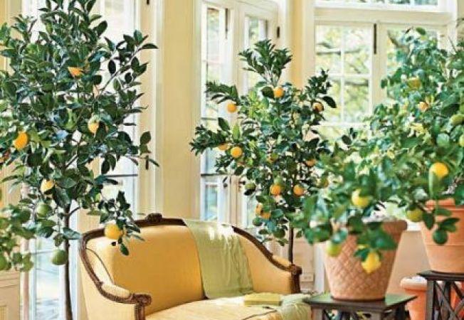 Copaci ideali pentru apartament