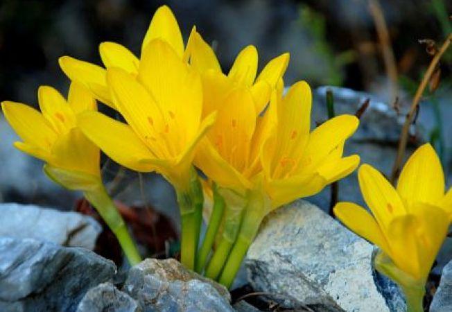 Sternbergia lutea, narcisa de toamna