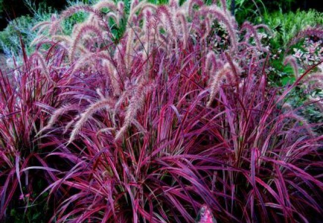 Pennisetum setaceum (Rubrum)