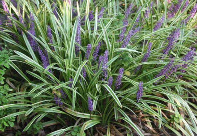 Cum cresti planta ierboasa Liriope