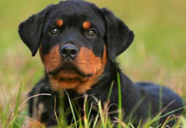 Vrei un Rottweiler? Ce trebuie sa stii!