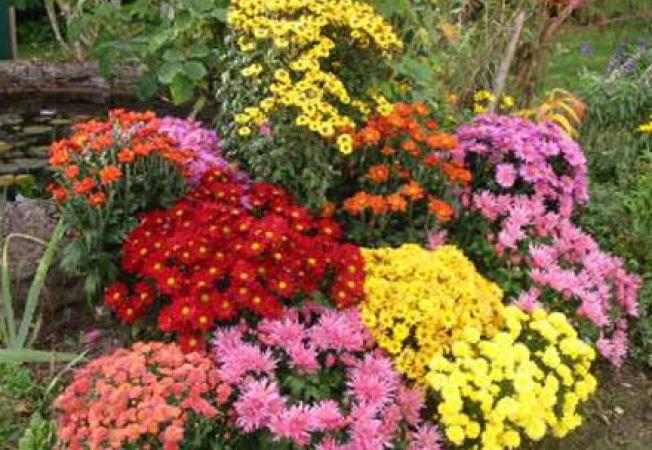 Pregatirea crizantemelor pentru sezonul rece