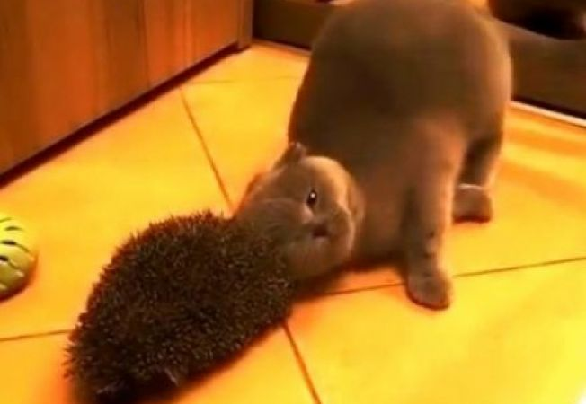 Amuzant! O pisica alintata vrea sa intre in gratiile unui arici
