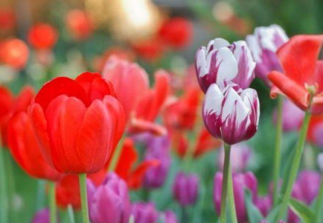 7 soiuri de lalele care infloresc ani la rand