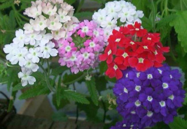 Sfaturi pentru a cultiva Verbena din seminte
