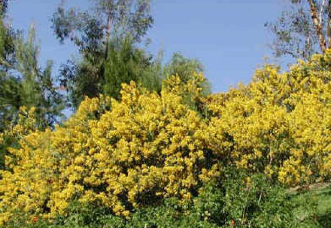 Sfaturi de ingrijire pentru Acacia cultriformis