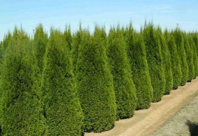 Foloseste coniferul decorativ Tuia pentru amenajarea gradinii