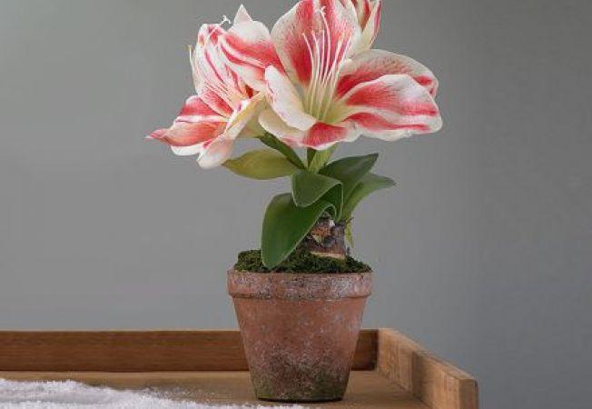 Plantarea Amaryllisului in noiembrie pentru ca planta sa faca flori de Craciun