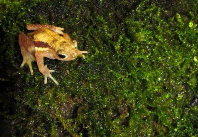 Broasca Kihansi, din nou in habitatul sau natural