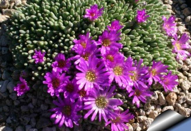 Ingrijirea plantei Delosperma (Floarea de cristal): sfaturi utile