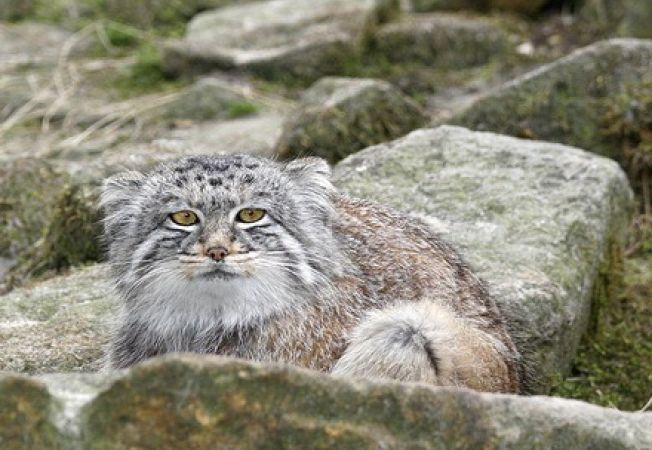 Felina misterioasa, identificata in Himalaya (Foto)
