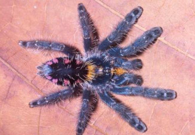 Specii noi de tarantule cataratoare, descoperite in Brazilia