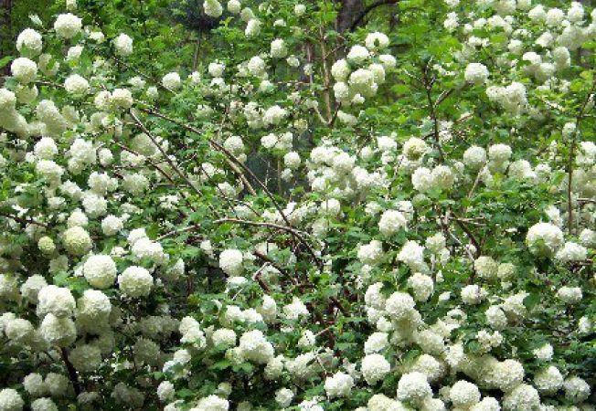 Calinul, un arbust luxuriant care infloreste iarna