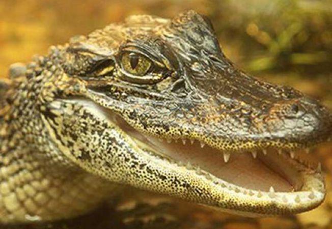 Crocodilii au pielea mai sensibila decat oamenii