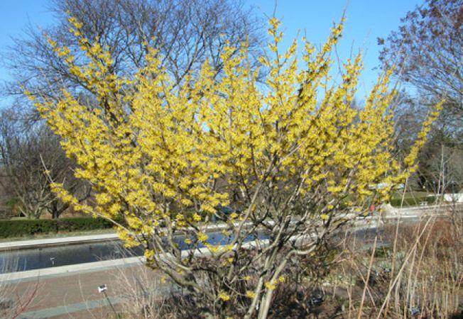 Hamamelis x intermedia, un arbust atractiv pentru gradina de toamna-iarna