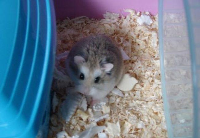 Invata sa cureti corect cusca hamsterului tau!