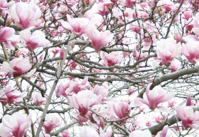 Invata sa tunzi magnolia