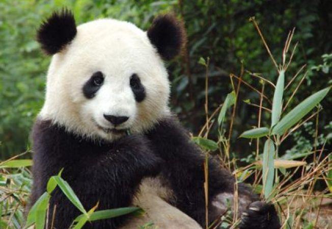 Ursii panda, amenintati cu disparitia de schimbarile climatice