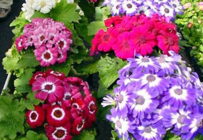 Cineraria, o floare fascinanta pentru tot anul
