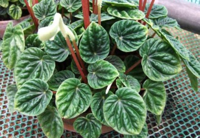 Pepperomia, cea mai frumoasa planta de apartament