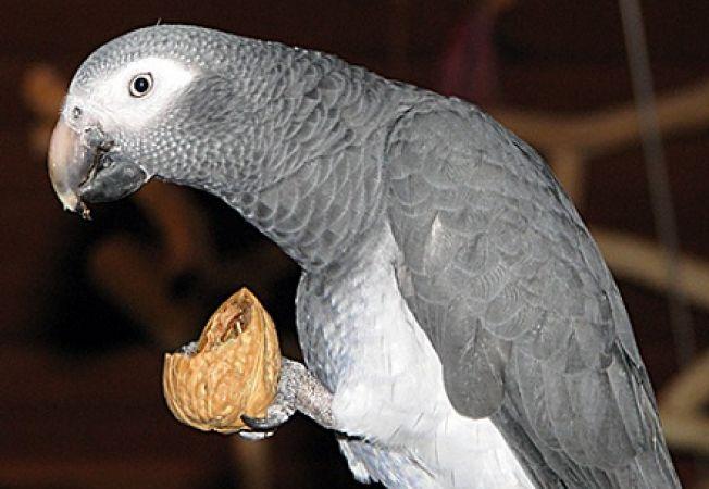 Cum tratezi deficienta de calciu la papagali