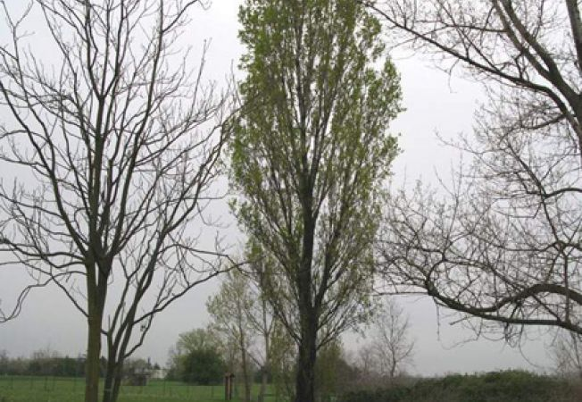 Plopul, un copac rezistent pentru gradina ta